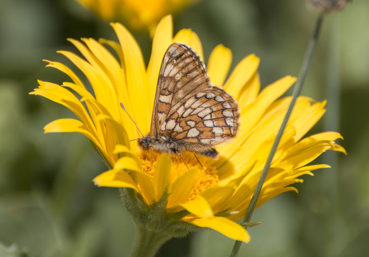 euphydryas cynthia Fritillary Butterfly Animal Themes Animals In The Wild Beauty In Nature Close-up Cynthia Cynthia Fritillary Day Euphydryas Euphydryas Cynthia Fritillary Growth Insect Nature No People One Animal Outdoors Papilio Cynthia Plant
