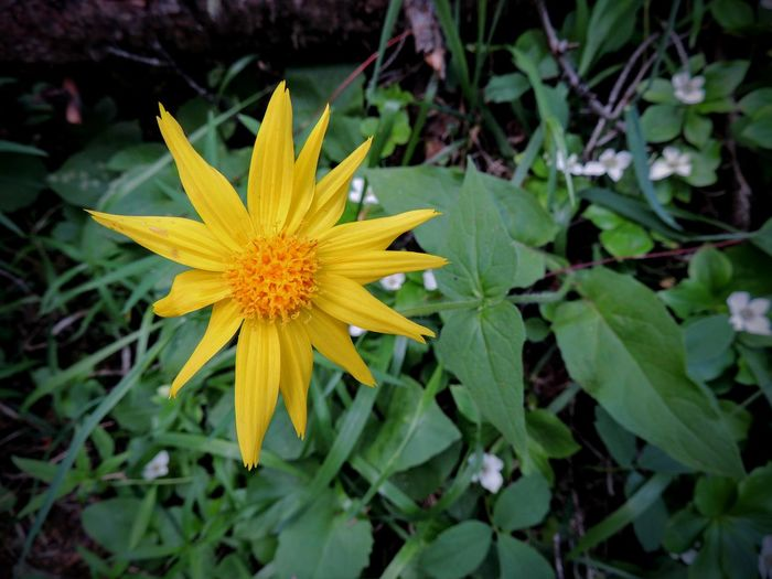 Arnica Flower, Heartleaf, close up macro in Banff National Park, Canada Arnica Arnica Flower Drug Herb Homeopathic Leopard's Bane Wildflower Botany Broadleaf Chamissonis Cordifolia Cosmetics Essence Extract Flower Heartleaf Latifolia Medicinal Sororia
