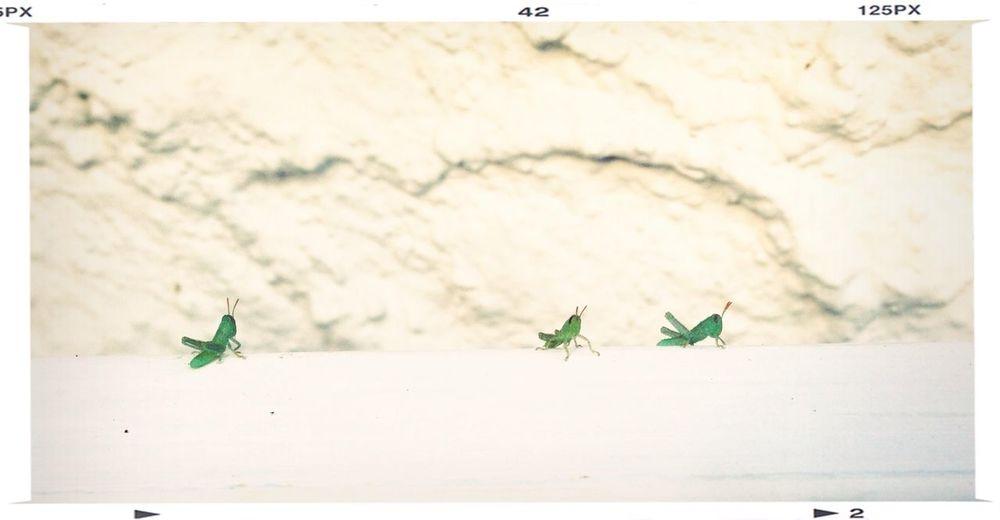 Grasshopper Family Portrait Summer Green