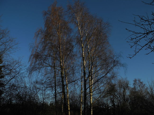 Birch Birch Tree Birches Tree Bare Tree Branch Sky Blue Sky Blue Nature Beauty In Nature No People Growth Outdoors Day Sunlight Sunny Sunny Day Sunshine Spring Springtime Early Spring Season  - in The Danish Countryside