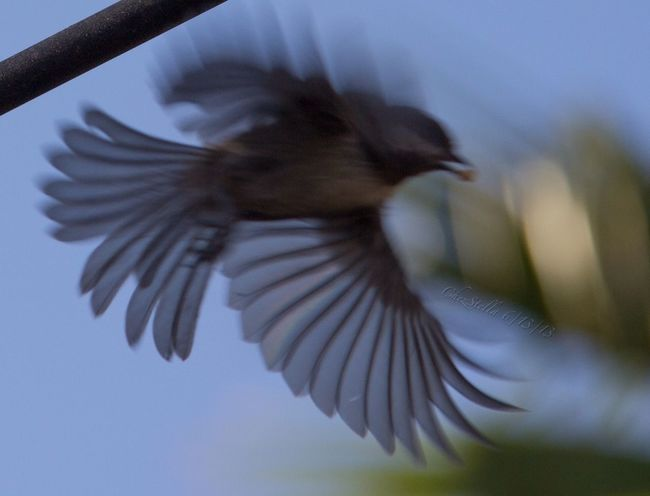 Chickadee in Flight Backyard Birder EyeEm Nature Lover