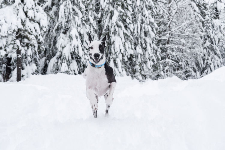 Harlequin great dane dog running in a winter snow covered forest.