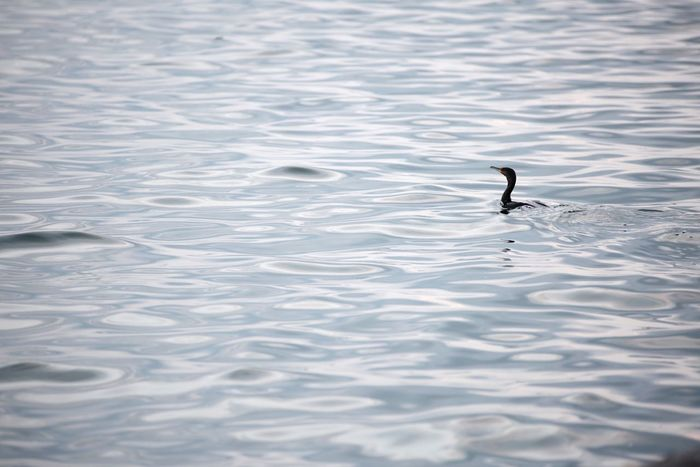 Bird Animal Themes Water Animal Bird Animals In The Wild Animal Wildlife Vertebrate One Animal Day No People Nature Rippled Swimming Waterfront Outdoors Beauty In Nature Lake Silhouette Reflection
