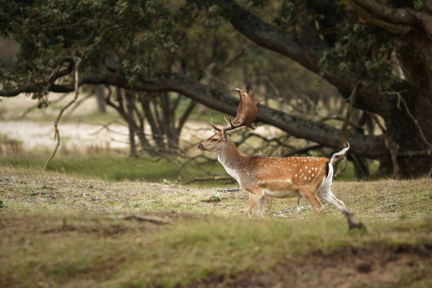 Buck Fallow Deer Dunes Of Holland Animal Themes Animal Animals In The Wild Animal Wildlife Plant Deer Tree Outdoors Nature