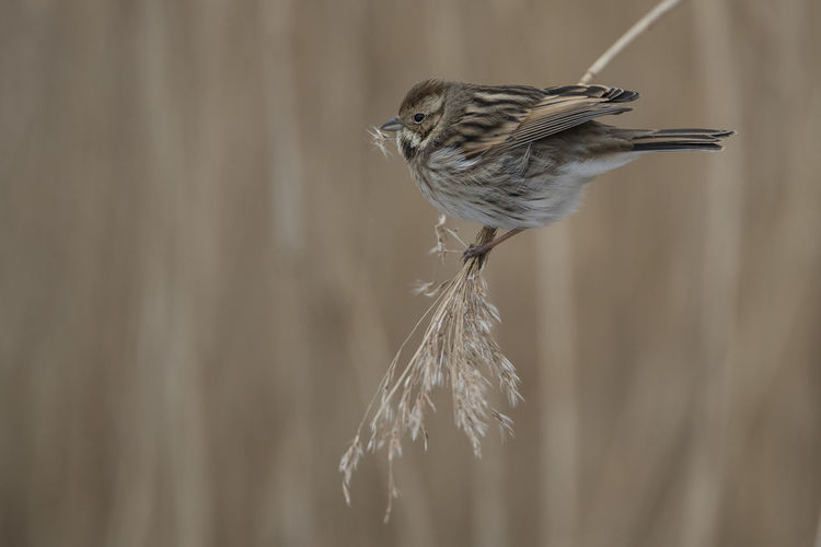 Reed Bunting (Female) Feeding  RSPB Ham Wall Reed Bunting Animals In The Wild Bird Close-up Nature No People