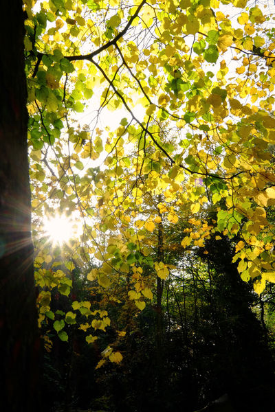 Tree Plant Sunlight Growth Beauty In Nature Branch Nature No People Tranquility Sky Leaf Day Sun Sunbeam Low Angle View Plant Part Autumn Land Forest Outdoors Lens Flare Change Bright Streaming Brightly Lit