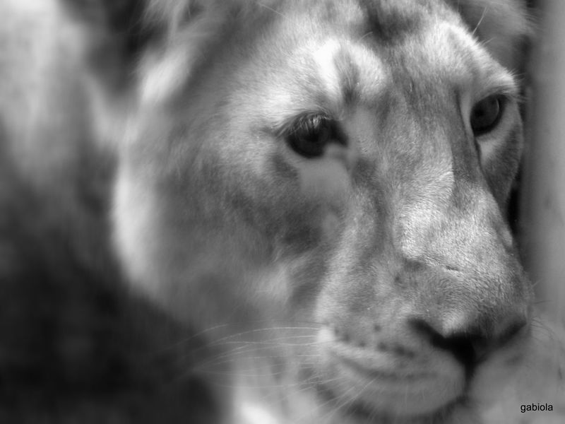 Zoo Frankfurt Sad Animals Lion