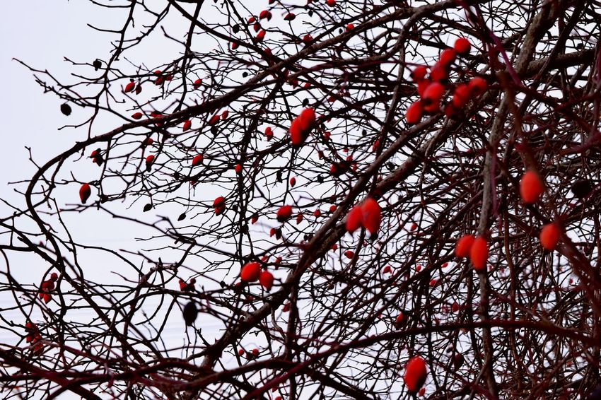 Nature Red Tree Fruit Outdoors Rowanberry Hagebutten It Is Cold Outside Bokeh Winter 2017 January 2017 How Is The Weather Today? Winter Beauty In Nature Focus On Foreground Red Nature Sky