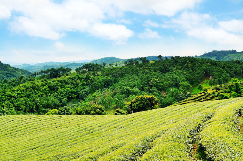 Agriculture Beauty In Nature Cloud - Sky Day Field Green Color Growth Landscape Mountain Nature No People Outdoors Rural Scene Scenics Sky Tea Crop Terraced Field Tranquil Scene Tranquility Tree