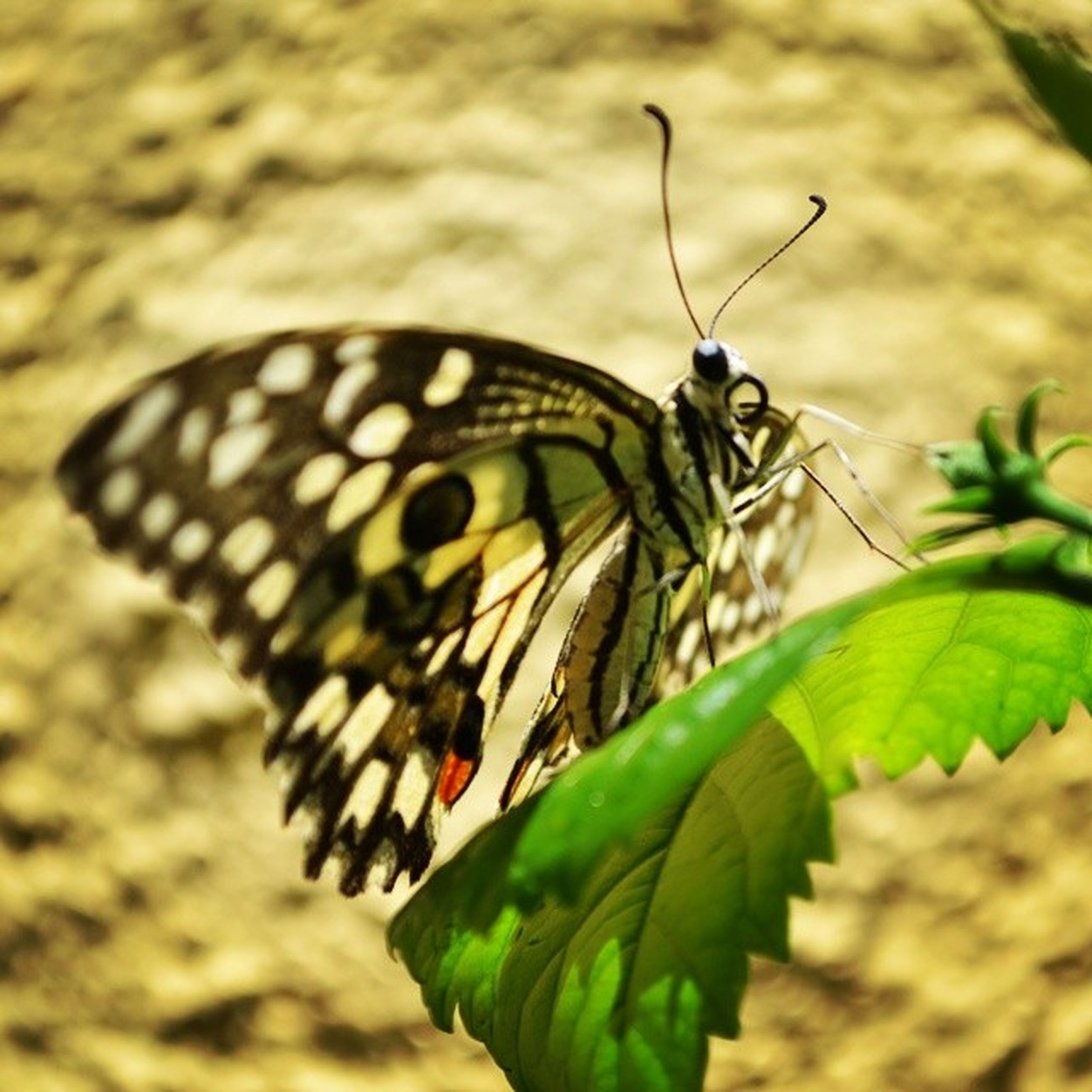 one animal, animals in the wild, animal themes, wildlife, insect, butterfly - insect, close-up, leaf, animal markings, butterfly, focus on foreground, animal wing, natural pattern, nature, green color, perching, animal antenna, high angle view, beauty in nature, outdoors
