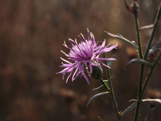 Beauty In Nature Close-up Day Flower Flower Head Flowering Plant Focus On Foreground Fragility Freshness Growth Inflorescence Nature No People One Animal Outdoors Petal Plant Purple Thistle Vulnerability