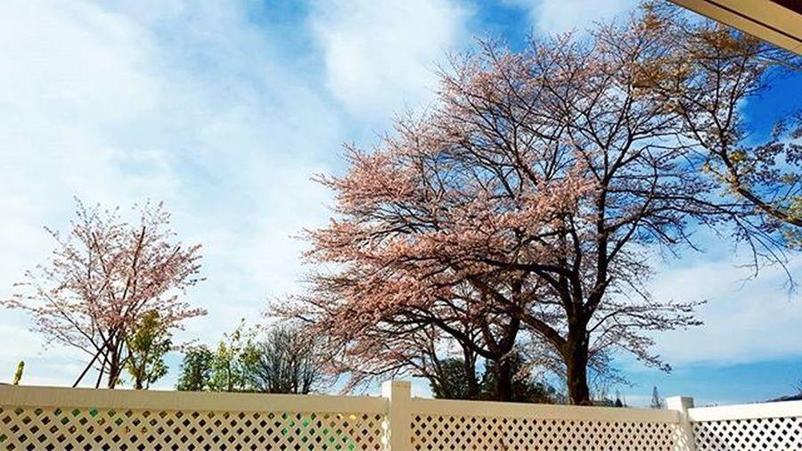おハローございます 晴天なり とりあえず一服 娘ちゃん今日から三年生やね 好きな男子と会えるんやね よかったね 桜がいい感じ Cherryblossom 今日も頑張ろう ! ウェイオー!