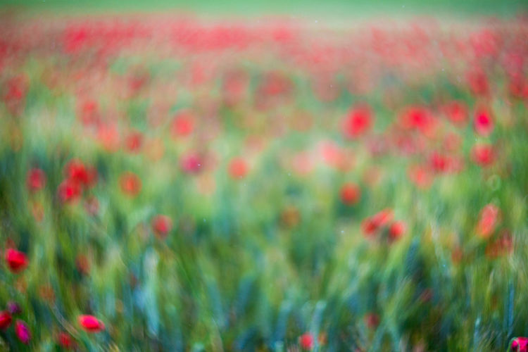 Common Poppy Field Flowers Out Of Focus Papaver Poppy Field Poppy Fields Poppy Flowers Red Red Wheet Slightly Out Of Focus