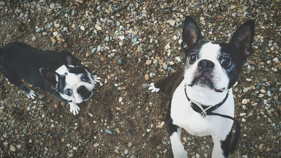 Portrait of boston terriers on field