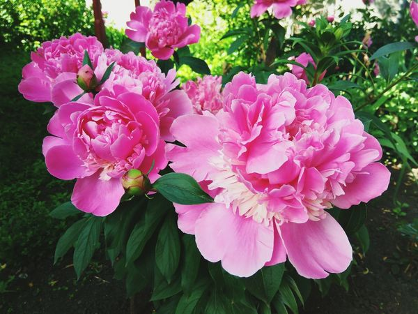 Flower Pink Color Beauty In Nature No People Peony  🌸good Day
