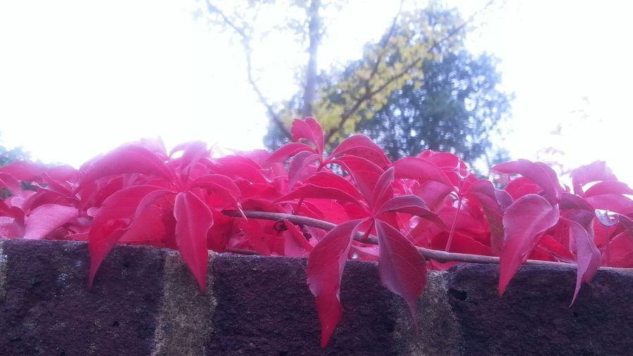 Red Autumn Leaves From My Point Of View Flowers,Plants & Garden
