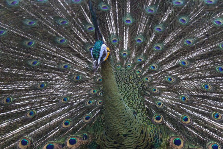 The beauty of a peacock when developing its wings Nature Animal Animal Themes Animal Wildlife Animals In The Wild Background Beauty In Nature Beauty In Nature Bird Blue Close-up Garden Nature No People Outdoor Outdoors Peacock Travel Destinations Wildlife
