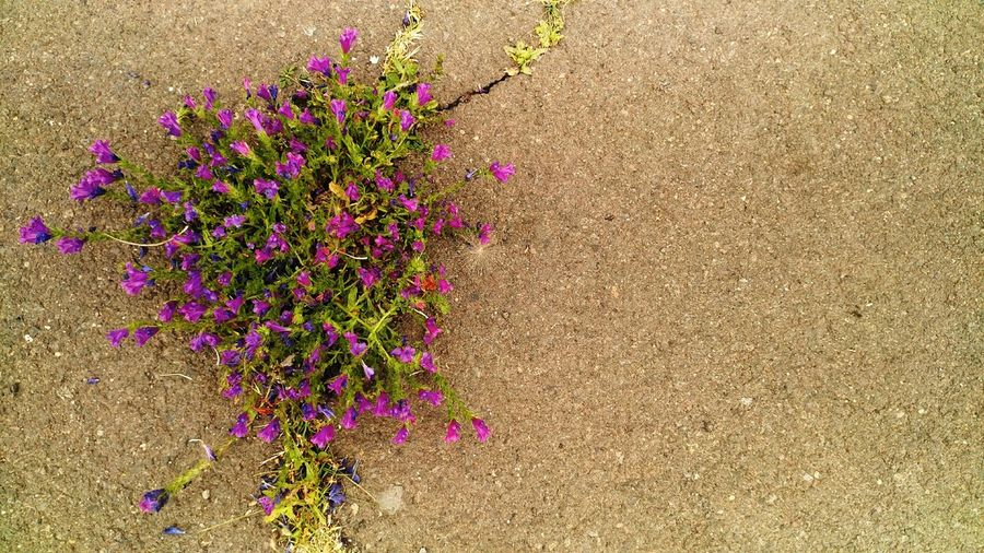 High angle view of pink flowering plants on land