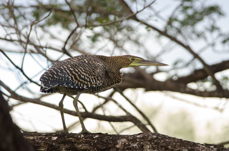 Bare-throated Tiger-Heron (Tigrisoma mexicanum) in Palo Verde National Park Animal Themes Animal Wildlife Animals In The Wild Bare-throated Tiger-Heron Bird Costa Rica Heron National Park Nature Nature Palo Verde Tigrisoma Mexicanum Tree Tropical Wetland Wilderness Wildlife