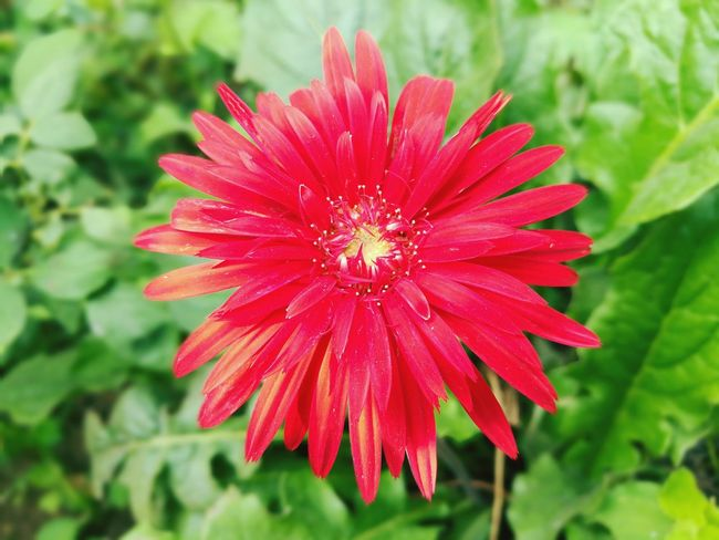 Gerbera Daisy Gerbera Flower Gerberaflower Flower Flower Head Freshness Nature Plant Petal Fragility Day Growth Beauty In Nature Outdoors No People Close-up Flower Collection Flowers 🌸🌸🌸 Growth Beauty In Nature Flower Arrangement Flowers,Plants & Garden Flowers :) Red Redflower🌺