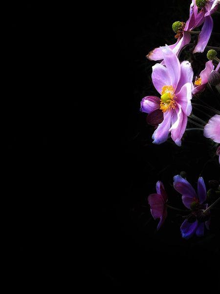 Japaneseanemones 秋明菊 Flower Pink Color Black Background
