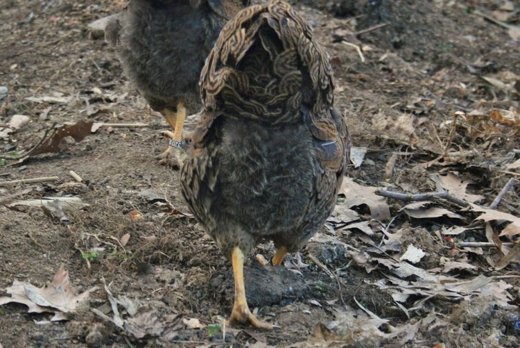 Backside Portrait Poultry Farming Animal Themes Domestic Animals Hen One Animal Outdoors Rural Scene