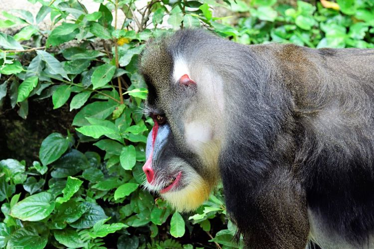Wildlife and forestry Animal Animal Head  Animal Themes Animal Wildlife Animals In The Wild Close-up Day Eating Focus On Foreground Green Color Leaf Mammal Monkey Mouth Open Nature No People One Animal Outdoors Plant Plant Part Primate Vertebrate