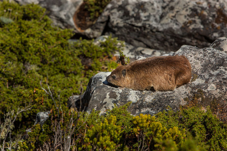 A Dassie on Top of Table Mountain Cape Town Animal Animal Themes Animal Wildlife Animals In The Wild Cute Dassie Day Formation Herbivorous Land Mammal Nature No People One Animal Outdoors Plant Rock Rock - Object Rock Formation Side View Solid Vertebrate