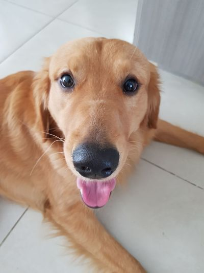 Dog looking at camera Retriever Protruding Pets Portrait Beagle Dog Looking At Camera Animal Tongue Ear Sticking Out Tongue Labrador Retriever Purebred Dog Obedience Puppy Loyalty Golden Retriever Animal Mouth Canine