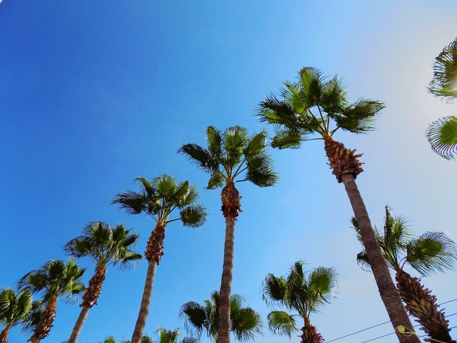 Row Summer Tree Palm Tree Clear Sky Tree Area Blue Tree Trunk Branch Leaf Sunny Sky Tropical Tree Pine Tree Palm Leaf Plant Part Needle - Plant Part Coniferous Tree Coconut Palm Tree Treetop Tropical Climate Date Palm Tree Evergreen Tree Forest Fire Spruce Tree Pine Woodland Pinaceae Grove Pine Wood Pine Cone
