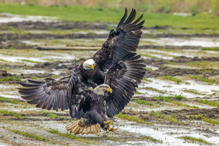 Bald eagles fighting Nature Eagle Animals Bird Landscape Action Bald Eagle Nature Photography Birds In Flight Eagles Actionshot Birds Of EyeEm  No People Birds_collection Animals In The Wild EaglesNest Birds🐦⛅ My Best Photo Spread Wings Group Of Animals Two Animals Bald Eagle In Flight Animal Themes Animal Wildlife Landing - Touching Down EyeemTeam Eyeemvision Flying Vertebrate Focus On Foreground Mid-air Outdoors Animal Flapping Motion Day Black Color