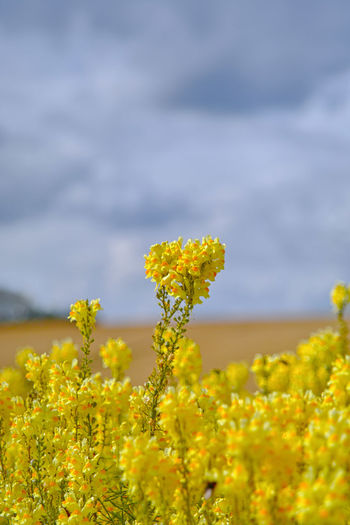 Yellow Flower Flowering Plant Plant Growth Beauty In Nature Field Land Freshness Vulnerability  Agriculture Fragility Oilseed Rape Nature Selective Focus Landscape Crop  Day Environment Tranquility No People Outdoors Springtime Flower Head Wildes Löwenmäulchen Im Feld Blüten