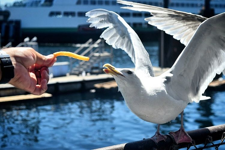 Seattle, Washington Iver's French Fries Seagull Hungry June Showcase Action Shot  Pudget Sound Water Nature