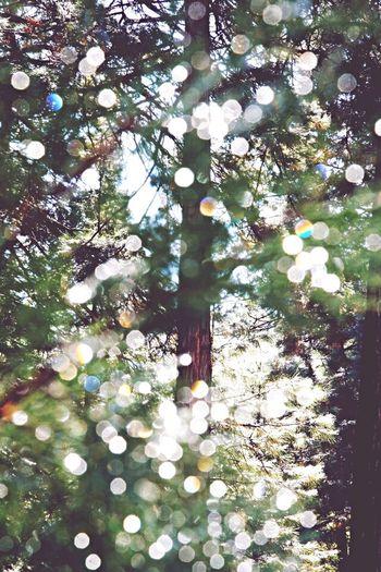 California Redwoods Nature Trees Sunlight Yosemite National Park
