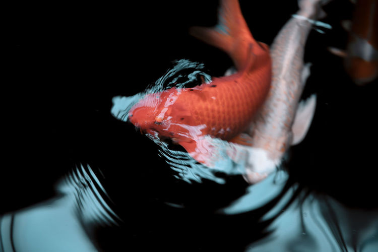 // something fishy is going on // Animal Animal Themes Animal Wildlife Animals In Captivity Animals In The Wild Black Background Close-up Fish Indoors  Marine Nature One Animal One Person Sea Sea Life Swimming Underwater Vertebrate Water