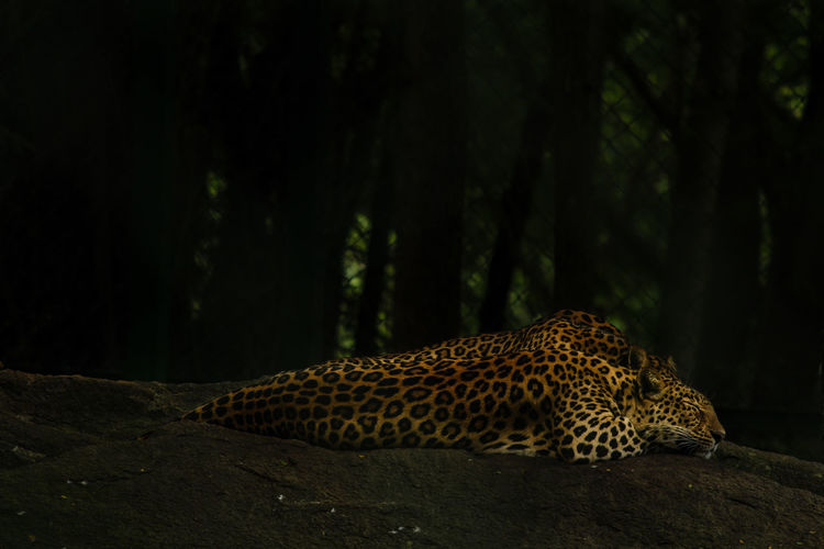 sleeping beauty Animal Themes Animal Wildlife Animals In The Wild Cheetah Close-up Forest Horizontal Leopard Mammal Nature Night No People One Animal Outdoors Spotted