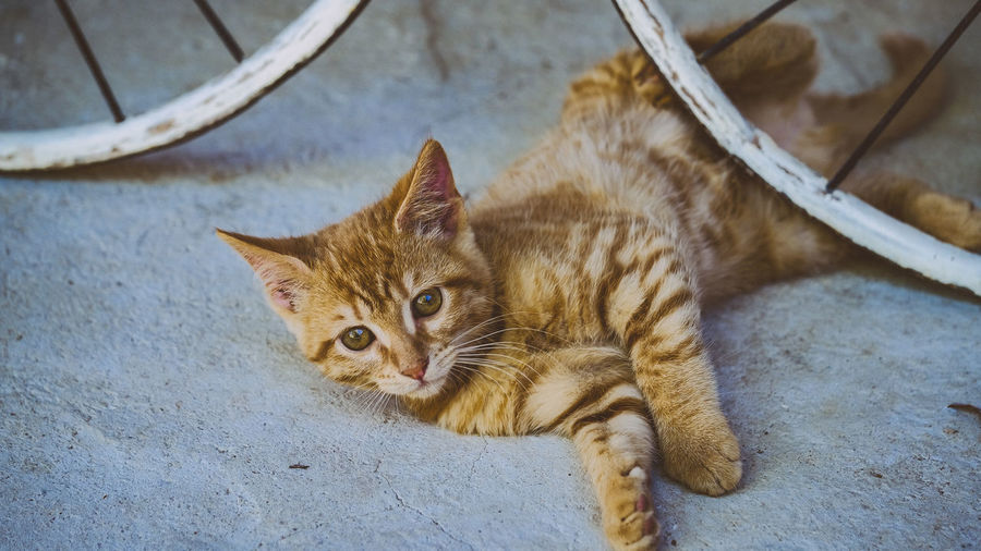 High angle view portrait of ginger cat relaxing outdoors