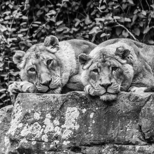 1:1 African Animal Themes Animals Animals In The Zoo Blackandwhite Blackandwhite Photography Contrast Day Lazy Cat Light Light And Shadow Lion - Feline Lions Mammal Mammals No People Outdoors Portrait Relaxation Rock Square Zoo Zoo Animals  Zoology
