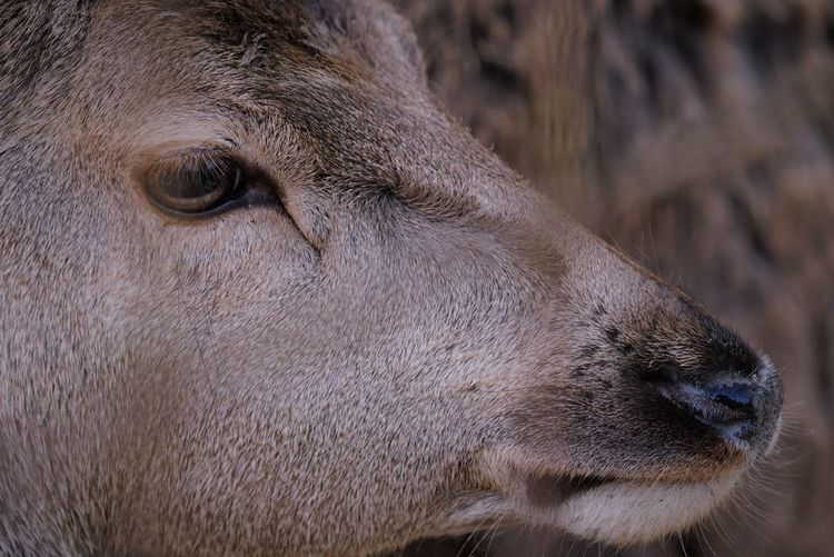 Gently Deer Moment Of Silence Mammal Nature Photography Nature_collection Wildlife & Nature Wildlife Photography Wildlife Wildlife_perfection Eyem Nature Lovers  EyeEm Best Shots EyeEmNewHere Encounter Portrait Eye Close-up Animal Body Part Nose Animal Eye Snout