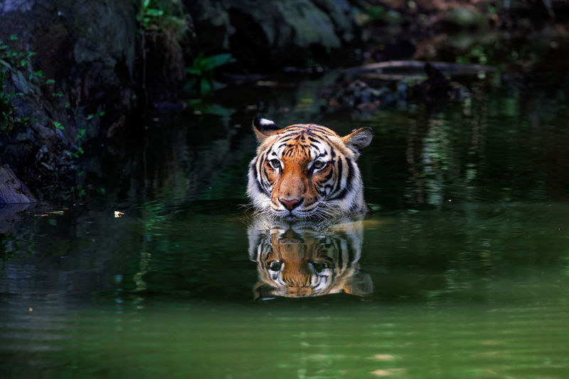 High angle view of a tiger swimming in water