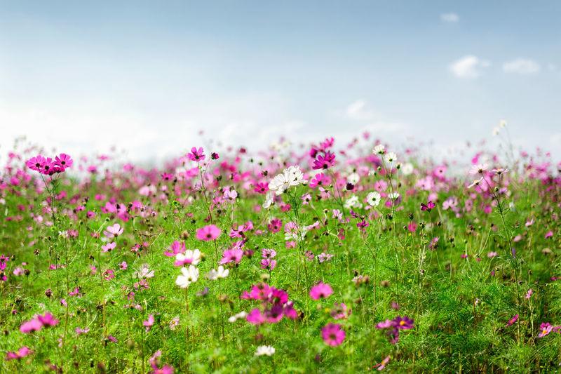 Purple flowering plants on field against sky
