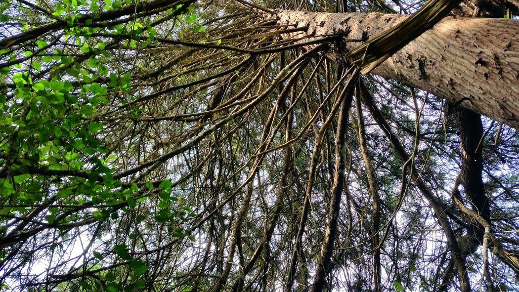 Tree Evergreen Pine Trees Pine Magical Trees Pinheiro Pinheiral