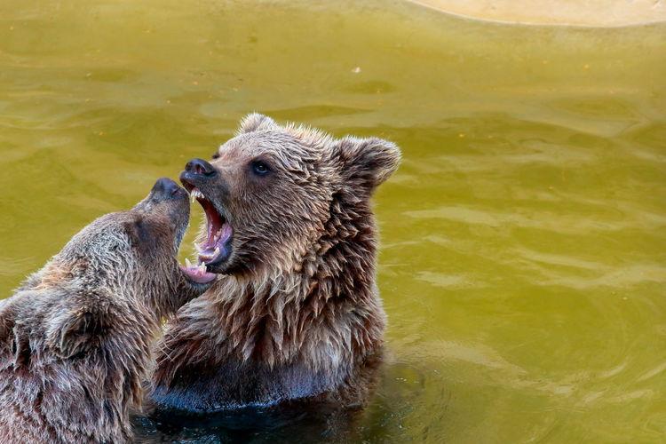 Brown bears fighting in lake