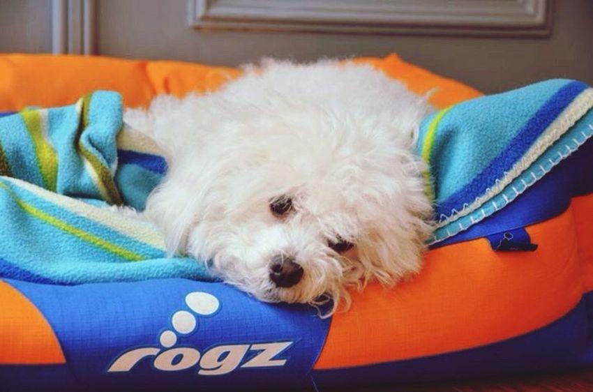 Animals Dog Dog Love Belgium Nikon D7000 Original Photography New Photo Rip Maxy Home Hello World Face Nad 🙈🐶💋😊🇧🇪