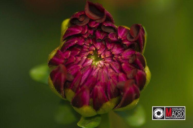 Renacer / http:www.costaricamacrophotography.com Flower Beauty In Nature Nature Close-up Beautiful Macro Color Flor Pura Vida Costa Rica Plant Belleza De Cerca Vida Pink Color Green Hermoso Wonderful Life
