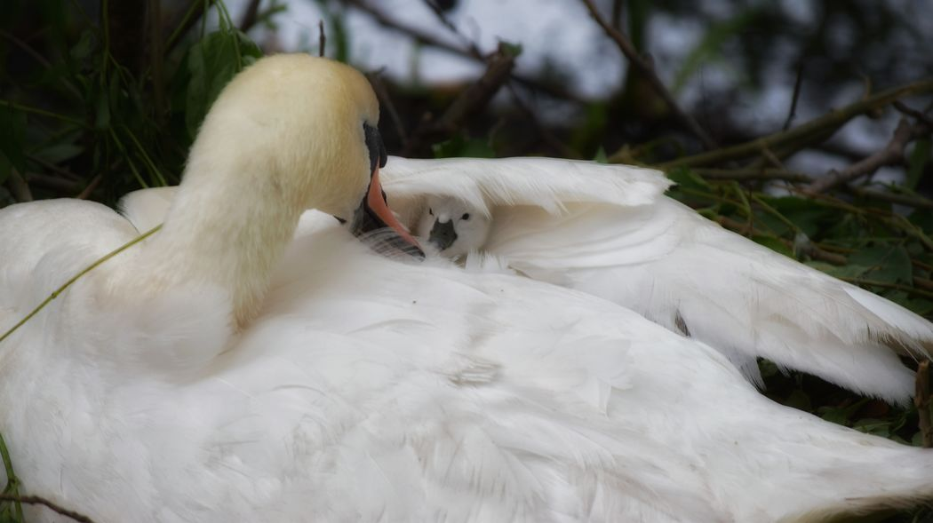Great news, one of the last two remaining eggs hatched this morning. Four of the eggs were sadly washed away in the flood 😢 ya can read about it here http://www.gazette-news.co.uk/news/14527168.Model_rescues_frantic_swan_and_nest_from_rising_floodwater/ Swan EyeEm Gallery Baby Swan Swan Nest Cygnet Nurture  Nature_collection EyeEm Best Shots Nature On Your Doorstep Eye4photography  Nature Nature Photography EyeEm Masterclass Check This Out Taking Photos EyeEm Nature Lover EyeEm Best Shots - Nature The Photojournalist - 2016 EyeEm Awards Exceptional Photographs Nature's Diversities Naturelovers Flood Colchester Distillery Pond