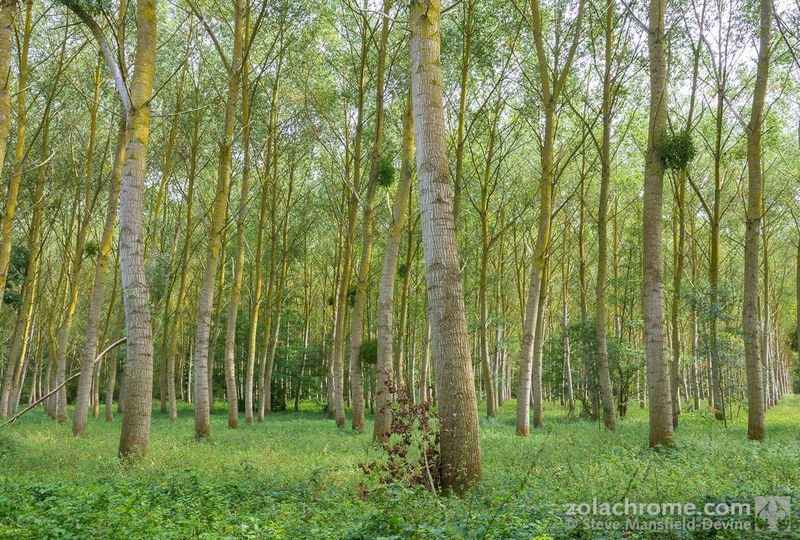 Poplar plantation: https://mansfield-devine.com/zolachrome/2018/09/pic-of-the-week-poplar-plantation/ France Mayenne Beauty In Nature Environment Forest Land Landscape Nature Plant Tranquility Tree WoodLand