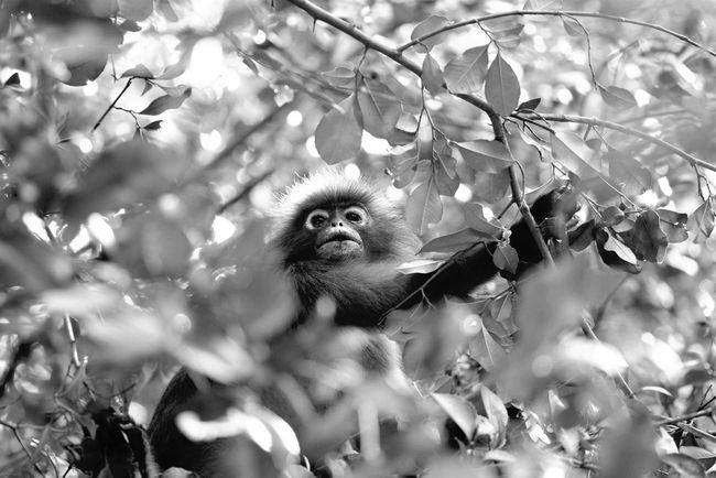 dusky langurs Dusky Leaf Monkey Monkeys Southeastasia Nature Animals Savetheanimals Monkey Wildlife Wildlife & Nature