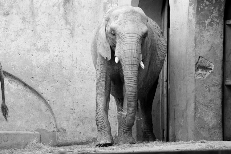Animal Photography Animal Themes Animal_collection Animals Black & White Black And White Blackandwhite Blackandwhite Photography Bnw Elephant Eye4photography  EyeEm Best Shots EyeEmBestPics From My Point Of View Minimal Minimalism Minimalobsession