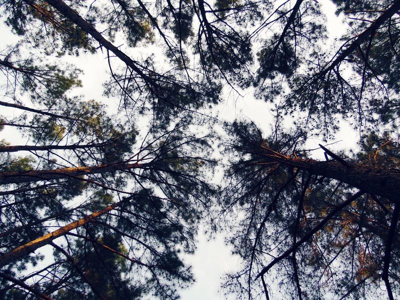 Tree Low Angle View Growth Tree Canopy  Forest Pine Trees Pine Forest Trees And Sky Trees And Nature Hyco Lake Trail AbstractsInNature Nature Abstract Lost In The Landscape Perspectives On Nature